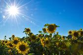 Zonnestralen over zonnebloemen — Stockfoto