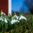 Snowdrops with dewdrops — Stock Photo
