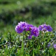 Stock Photo: Pink primula