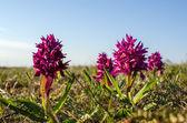 紫の花の間で — ストック写真