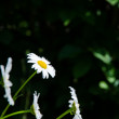 Daisies at dark background — Stock Photo