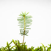 Isolated Spruce seedling — Stock Photo
