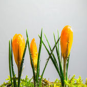 Yellow crocus buds at white background — Stock Photo