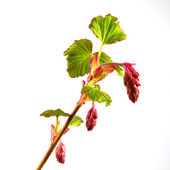Flowering currant close-up — Stock Photo
