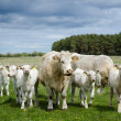 Cows on the go in a green pastureland — Zdjęcie stockowe #46537297