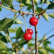Sweet cherry — Stock Photo #14682839