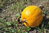 Pumpkin on the autumn garden — Stock Photo