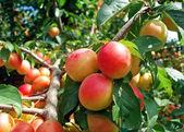 Juicy plums — Stock Photo