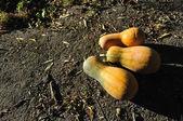 Three pumpkins — Stock Photo