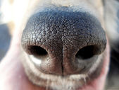 Dog nose — Stock Photo