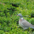 Dove on the green. — Stock Photo