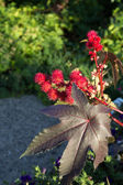 Castor bean — Stock Photo