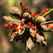 Rosary pea - Stock Photo
