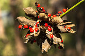 Rosary pea — Stock Photo
