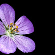 Spotted Geranium — Stock Photo #27950797