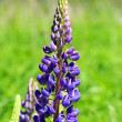 Blue lupin — Stock Photo