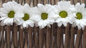 Rustic Daisy Row — Stock Photo