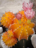 Orange Cactus with Pink Flowers — Stock Photo