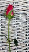 Single red rose bud — Stock Photo