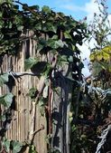 Ivy Fence Post — Stock Photo