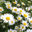 Wild Daisies — Stock Photo #16768419