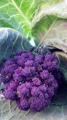 Purple broccoli — Stock Photo
