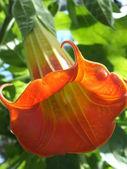 Brugmansia - oranje tropische bloem — Stockfoto