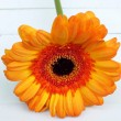 Orange single gerbera laying on white wooden floorboards — Stock Photo