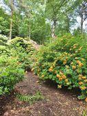 Azalea woodlands — Stock Photo