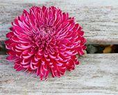 Glorious Chrysanthemum — Stock Photo