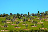 Olive Trees on Grass Hill — Stock Photo