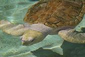 Albino Sea Turtle — Stock Photo