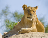 Lioness observing the land — Stock Photo