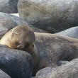 Stock Photo: Sleeping Seal