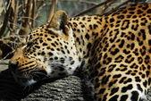 Sleeping leopard — Stock Photo