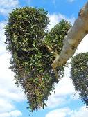 Tree Heart — Stock Photo