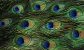 Texture Feathers Peacock — Stock Photo