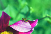Fly on a flower — Stock Photo