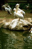 Pelican on the rock — Stock Photo