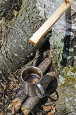 The collecting of birch sap in the spring — Stock Photo