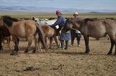 Mongolian nomads milking mares — Stock Photo