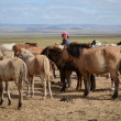 Colts tied in a row, the herd of horses on the Mongolian steppeColts in a row in the herd of horses on the Mongolian prairie — Stock Photo