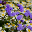 Stock Photo: Fluffy blue ageratum flowers on background of daisies