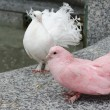 Two colorful doves on a parapet — Stock Photo