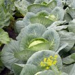 Rank of cabbage in the vegetable garden — Stock Photo