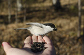 Feeding of Black-Head Chickadee from the palm in the forest. (Parus palustris, titmouse family) — Stock Photo