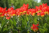 Kwiaty tulipany — Zdjęcie stockowe