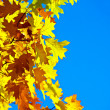 Wedge yellow leaves. — Stok fotoğraf