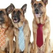Stock Video: Dogs with tie.