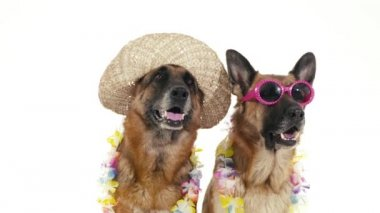 Dogs with hat and sunglasses. — Stock Video